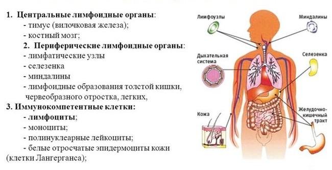 Что состовляет иммунную систему