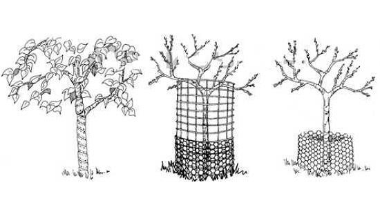 Защита деревьев от грызунов зимой