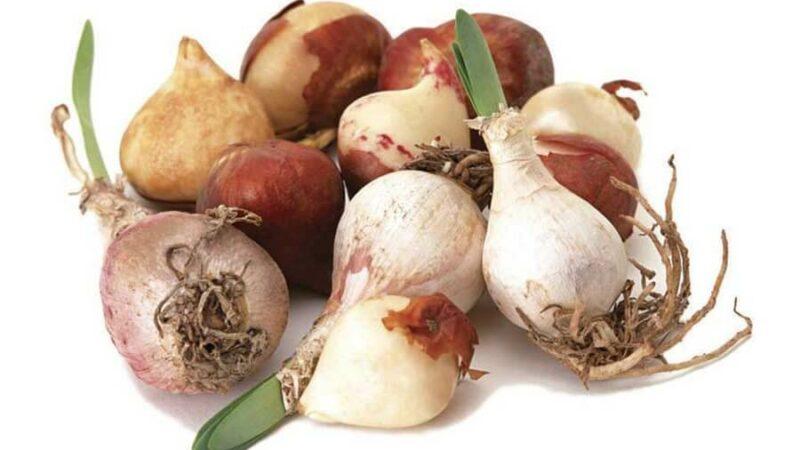 Болезни и вредители луковичных растений